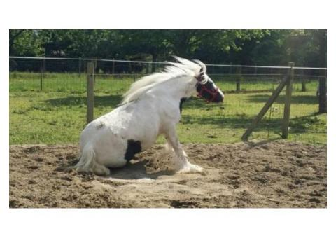 Jument Irish Cob de 5ans