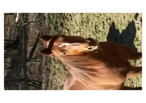 jument quarter horse + 3 selles western