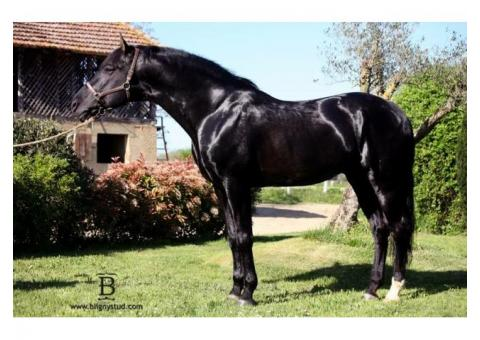 Jument cheval poney 1,50m