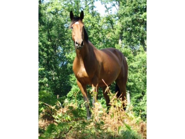 Jument cheval poney 1,50m