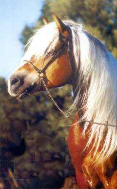 "Obrázek ""http://www.1cheval.com/photos/cheval/races/hafling/hafl.jpg"" nelze zobrazit, protože obsahuje chyby."